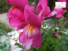 """LOS MEJORES ARREGLOS FLORALES A DOMICILIO. ¿Conoce la flor """"Boca de Dragón""""? Esta es una planta nativa de Marruecos, Portugal, Francia, Turquía y Siria y solo existen 5 subespecies y sus colores más comunes son el lavanda, naranja, rosa, amarillo o blanco. En Lilium somos especialistas en el diseño de arreglos florales; si desea conocer nuestra colección de arreglos florales elaborados con distinas flores exóticas, le invitamos a ingresar a nuestra página de internet www.lilium.mx"""