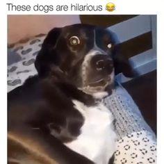 Super Cute Puppies, Super Cute Animals, Cute Dogs And Puppies, Cute Funny Animals, Cute Baby Animals, Funny Animal Jokes, Funny Dog Memes, Funny Cats And Dogs, Funny Dog Videos