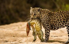 A leopard (Panthera pardus) with his scaly catch in Mala Mala Game Reserve (South Africa). Photograph by James Craig Moodie.