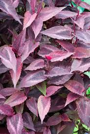 Image result for persicaria red dragon