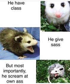 """22 Possum Memes That'll Make You Scream At Own Ass - Funny memes that """"GET IT"""" and want you to too. Get the latest funniest memes and keep up what is going on in the meme-o-sphere. Funny Animal Pictures, Cute Funny Animals, Funny Cute, Really Funny, Hilarious, Funny Laugh, Dankest Memes, Funny Memes, Funny Captions"""