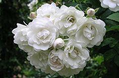 Rosa 'White Flight' - (Rambler-Rose)