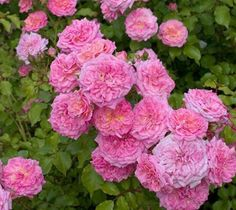 Sweet Drift® Pink Groundcover Rose rosa meiswetdom PP#21612 CPBRAF Brighten up your borders with the beautiful Sweet Drift Rose. The pastel pink, double flowers cluster above glistening green foliage