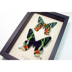 Best Seller 18 Years Madagascar Sunset Moth Pair 1072 (€75) via Polyvore featuring home, home decor, wall art, home & living, home décor, silver, taxidermy & curiosities, handmade wall art, rainbow tree and framed wall art