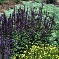 May Night Salvia  Name: Salvia x sylvestris 'Mainacht'  Size: To 30 inches tall and 18 inches wide  Zones: 5-9  Grow it with: May Night salvia and 'Pomegranate' yarrow make a fuss-free, long-blooming combination that butterflies adore.