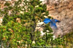 Western scrub jay (Aphelocoma californica) – Ghiandaia occidentale – Grand Canyon - Arizona - U.S.A- / by Alessandro Borgogno
