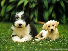 Guide Dog Puppies Photos Cute