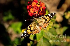The Painted Lady: http://fineartamerica.com/profiles/robert-bales/shop/all/all/all