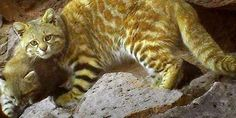 PLEASE SAVE, ANDEAN CAT, IS NEAR TO EXTINCTION, ACTION NOW, THANKS ...