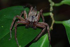 Huntsman spider (Sparassidae) | Found during a night walk in… | Flickr