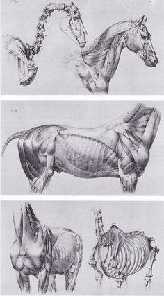 """Son laminas anatomicas para artistas del libro """"EL CABALLO"""" Manuales técnicos Leonardo. VINCIANA EDITORA, impreso en Italia"""