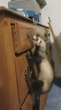 A Fiercely Determined Little Ferret Attempts To Open A Dresser Drawer Using Her Entire Body