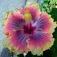 Dinnerplate Hibiscus sun frizzle 10 50 250 or 1000 seeds Rare Flowers, Exotic Flowers, Amazing Flowers, Beautiful Flowers, Cool Flowers, Pictures Of Flowers, Colorful Flowers, Hibiscus Plant, Hibiscus Flowers