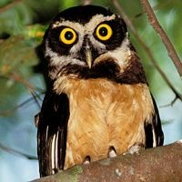 The Spectacled Owl-- is a medium-sized to large owl with a rounded head with no ear-tufts. It has a dark face with contrasting 'spectacles' made up of white eyebrows and other white streaking between the eyes and on the cheeks.