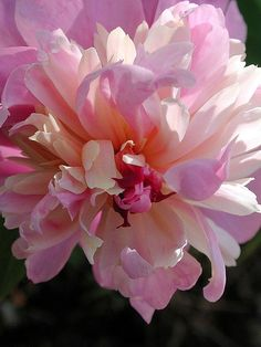 peonies are one of my fave types of flowers. I love all the random, paper-like petals. Exotic Flowers, Amazing Flowers, Pink Flowers, Beautiful Flowers, Peony Flower, Flower Art, Types Of Flowers, Gerbera, Flower Photos