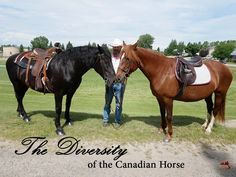 The diversity of the Canadian Horse - dressage, jumping, western, kids, showing, pleasure, trail riding, ... Canadian Horse, Black Canadians, Horses For Sale, Trail Riding, Dressage, Diversity, Ranch, Animals, Kids