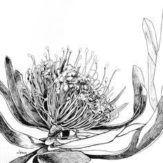 Pincushion Protea 8x8.jpg (2400×2400)