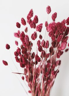 Add some rich color to your dried flower arrangements with this beautiful pink burgundy dried phalaris grass. Perfect to add to country wedding bouquets for gorgeous color and texture! - Berry Wine - Tall x 1 Blooms - 4 oz Bunch - Dried and Dyed Dried Flower Bouquet, Flower Bouquet Wedding, Dried Flowers, Silk Flowers, Flowers Nature, Paper Flowers, Dried Flower Arrangements, Beautiful Flower Arrangements, Beautiful Flowers Garden