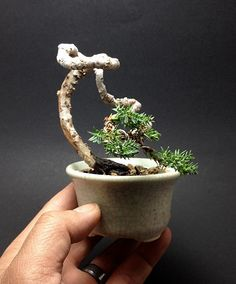 Mame Juniper bonsai tree by Ken To by KenToArt on deviantART