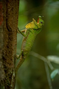 Hump-nosed lizard - This is one of the endemic lizards of Sri Lanka, found only in the tropical rainforests - Kalyan Varma
