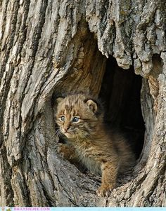 """Baby Bobcat """"Be Back Soon Mom!"""" - Squee daily at these cute animals and the absolute cutest animal pics and gifs ever known to man. Baby Bobcat, Bobcat Kitten, Baby Cubs, I Love Cats, Big Cats, Cats And Kittens, Beautiful Cats, Animals Beautiful, Neko"""
