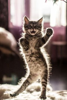15 Of The Funniest Dancing Cat Pics Cute Baby Cats, Cute Little Animals, Cute Cats And Kittens, Cool Cats, Kittens Cutest, Big Cats, Pretty Cats, Beautiful Cats, Funny Cats