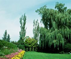 Weeping Willow-Zone 6