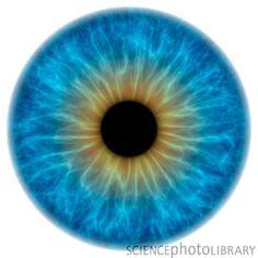 Google Image Result for http://www.sciencephoto.com/image/209551/350wm/F0034612-Eye,_iris-SPL.jpg