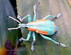 Eupholus Weevil (Mangiwau) Tags: blue light orange macro yellow bug insect indonesia rainforest