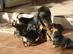 Mamma dachshund with pups.