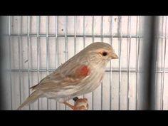 Lon Jacobson - YouTube Canary Birds, Serin, Red Agate, Mosaic, Nature, Youtube, Animals, Birds, Naturaleza