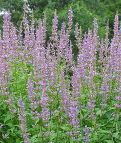 Agastache 'Purple Haze' (Hyssop) -- This decidedly hardy Agastache brings a new color palette with its long racemes of smoky blue violet flowers that never seem to stop coming. It remains compact in a container with an early pinch and is in flower from July to frost. It has survived wet and dry, and warm and cold winters in Pennsylvania where it has been in the ground since Spring 2000. Hardiness beyond zone 6 is unknown.