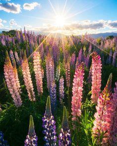 Field of dreams. #NZMustDo [Omarama, South Island. ���