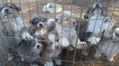 Australian Shepherd puppy for sale in AMADO, AZ. ADN-24903 on PuppyFinder.com Gender: Male. Age: 6 Weeks Old