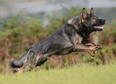 Sable gsd Loyal Dog Breeds, Loyal Dogs, Best Dog Breeds, Sable German Shepherd, German Shepherds, Dog Emoji, German Shepherd Pictures, Gsd Dog, Schaefer