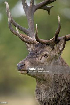 Stock Photo : Red Deer (Cervus elaphus) stag portrait, Denmark