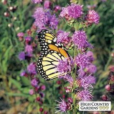 (Liatris aspera) Gayfeather Rough Blazing star is a large growing, showy drought tolerant species from the Mid-West. The large pink flowers are highly attractive to bees and butterflies.