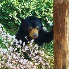 malay bear in ueno zoo