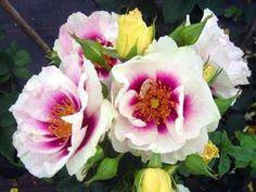 Rose - Eyes For You (Floribunda)