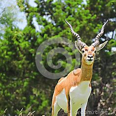 This antelope displays his spiral horns as he stands atop the hillside watching the herd.