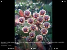 Hoya anncajanoae