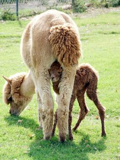 Alpacas - too funny! And look at mom's fluffy tail!