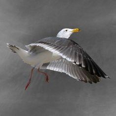 Moon Dance  Western Gull Bird Art Print 7 x 7 by susieloucks, $25.00