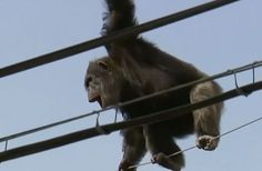 A vida mais colocada em risco durante a fuga foi a do próprio macaco. Irritadíssimo com a situação, ele subiu em fios de energia e ficou muito próximo de morrer eletrocutado.