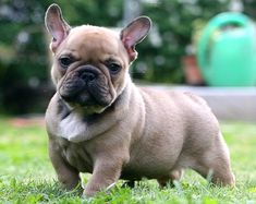 Best quality blue french bulldogs for sale, french bulldog puppies for sale AKC registered. Lilac, Chocolate, Blue and Tan French Bulldog Puppies for sale. Blue French Bulldog Puppies, French Bulldog Breed, Bulldog Breeds, Bulldog Puppies For Sale, Cute French Bulldog, Cute Puppies, Cute Dogs, Dogs And Puppies, French Bulldogs