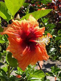 Fleur d\'Hibiscus x rosa-sinensis, Malvacées, Jardin de Balata, La ...