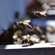 Creadoras de miel.