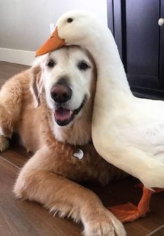 Dog And Duck Are Inseparable Best Friends - doggy style - Animals Wild Cute Funny Animals, Cute Baby Animals, Animals And Pets, Amor Animal, Mundo Animal, I Love Dogs, Cute Dogs, Unlikely Animal Friends, Cute Animal Pictures