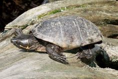 Stinkpot turtle | Stinkpot Turtle Pictures