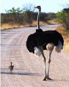 Kirsten Hubbard: YA Author + Travel Writer: baby animal of the week: baby ostrich Pretty Birds, Beautiful Birds, Animals Beautiful, Cute Baby Animals, Animals And Pets, Baby Ostrich, Camelus, Amazing Animals, Amazing Animal Pictures